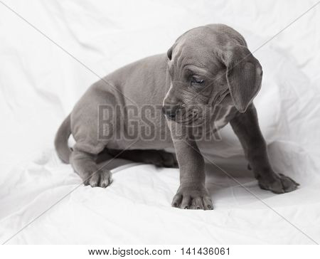 Grey Great Dane purebred puppy that is worried about something