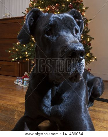 Black purebred Great Dane standing guard by the Christmas Tree