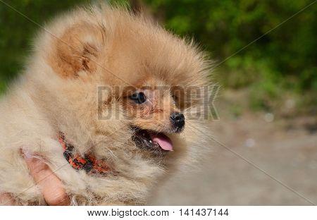 Puppy Of Pomeranian Spitz