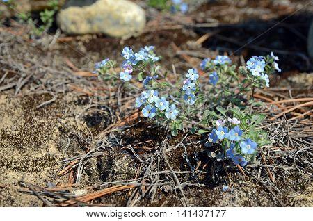 Tender Blue Flowers Of Forget-me-not - Lat. Myosotis