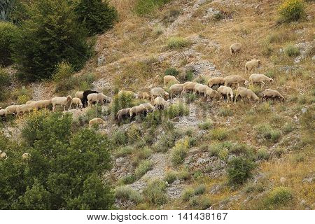 flock of sheep moving on a mountain