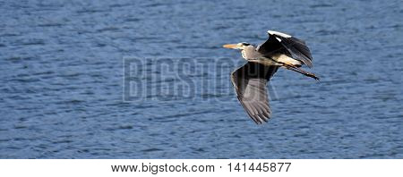 A grey Heron flying over the pond