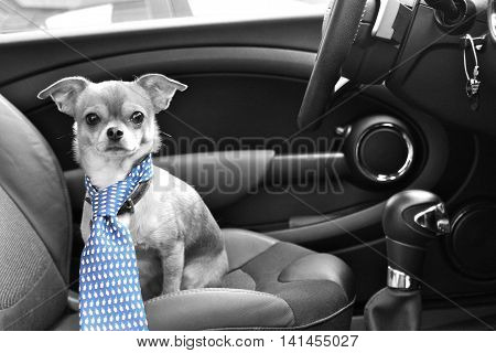 chihuahua dog seating inside the car in a human tie