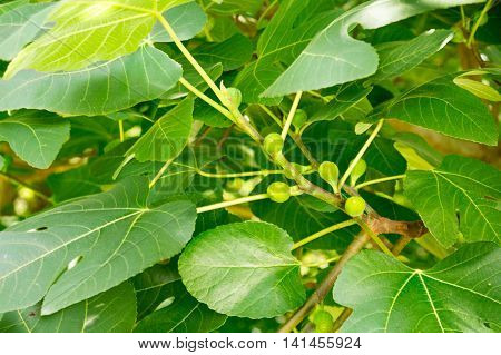 early summer sprouting Fig Tree on East Coast United States USA-3482