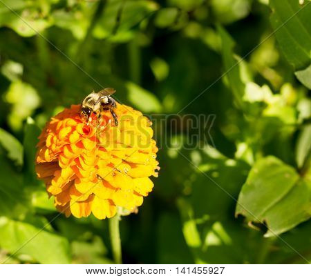 honey bee on orange yellow flower left side dominate late summer with pollen sacs on legs-3448