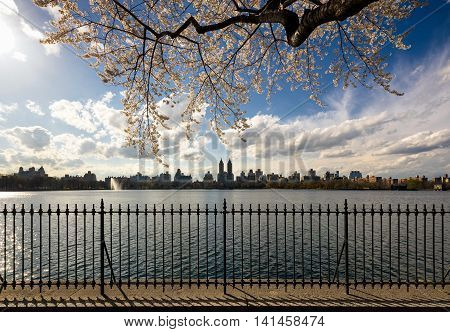 Springtime in Central Park with yoshino cherry trees and a view of the Upper West Side from the Jacqueline Kennedy Onassis Reservoir running track. Manhattan, New York City, USA