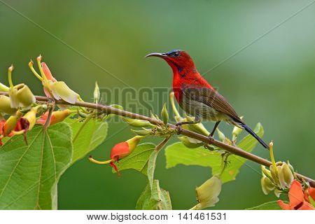 Red Crimson Sunbird