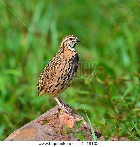 Rain Quail Bird