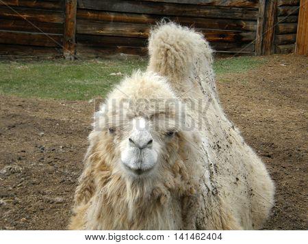 camel head. Very beautiful image.