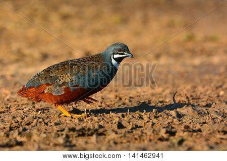 King Quail Bird