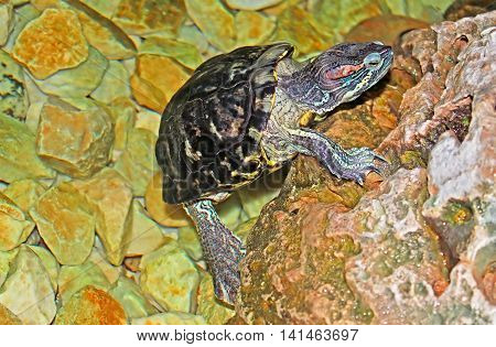 Turtle getting out of water (close up)