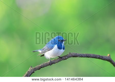 Ultramarine Flycatcher ,beautiful Bird Perching On Branch As Background