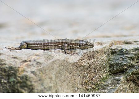 Grey lizard sitting on his rocky home in the forest in the province of Girona, Alp, Catalonia