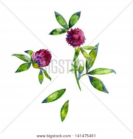 Watercolor red clover shamrock wild field flower isolated on white background