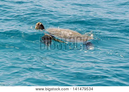 Green Sea Turtle swimming in the blue waters of Pacific Ocean, Pacific Ocean, Na Pali Coast, Kauai
