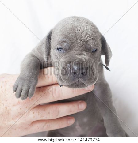 Grey Great Dane purebred puppy that looks made