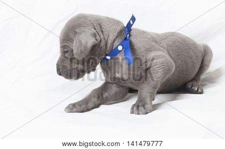 Grey Great Dane puppy looking away from the camera on white