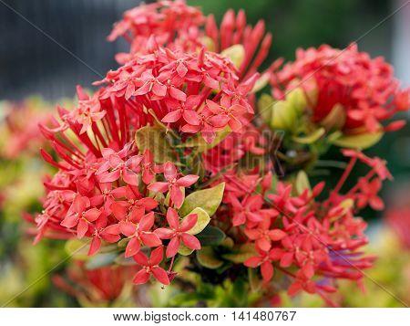 Ixora Flowers in the garden of Thailand.