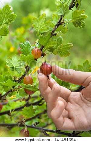 hands picking ripe berries of gooseberry in the garden
