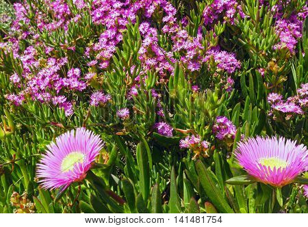 Pink Flowers (carpobrotus) Closeup.
