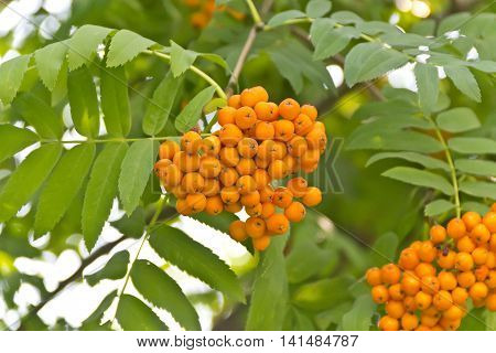 Yellow ripe rowanberry branch in sunny light