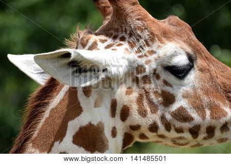 Side view close up of giraffe's head