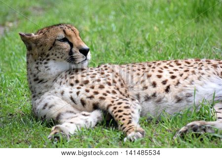 Cheetah rests in green grass on a sunny day