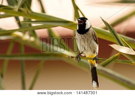 A White-eared Bulbul or Pycnonotus Leucotis sitting on a palm tree in a farm in Bahrain