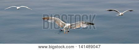 Three sea birds hovering in the air over the sea. Seabirds fly over the sea in search of food