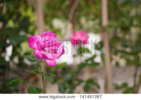 Nice Pink rose in the garden .