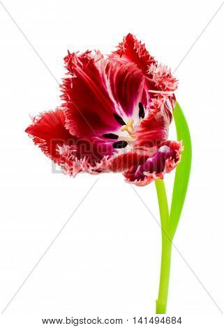 beautiful flower tulip on a white background