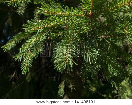Spruce branches in a coniferous forest. Texture needle-like branches of an evergreen tree.
