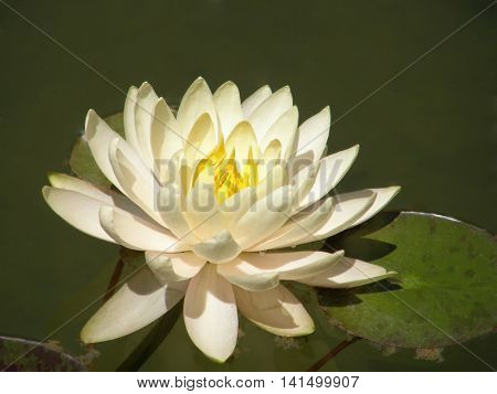 Water lily. Very beautiful image.
