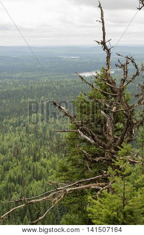 A wonderful view of a craggy old spruce from the top of Teapot Mountain with small lakes in the background in the Central Interior of British Columbia, Canada.
