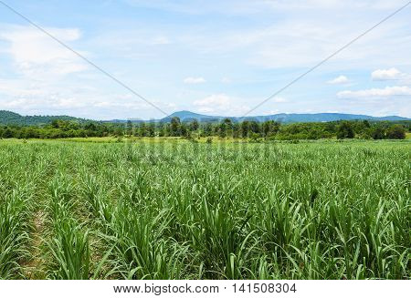 Sugarcane field with blue sky background. Travel in Thailand.