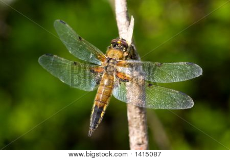 Dragonfly On A Green Background
