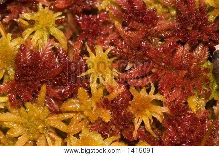 Ornamental Moss