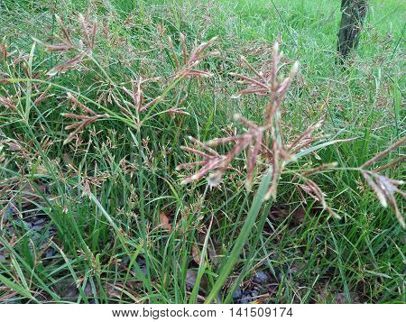 Nut grass is an herb that contains essential oils.