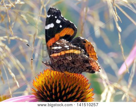 Red Admiral Butterfly in garden on bank of the Lake Ontario in Toronto Canada August 2 2016