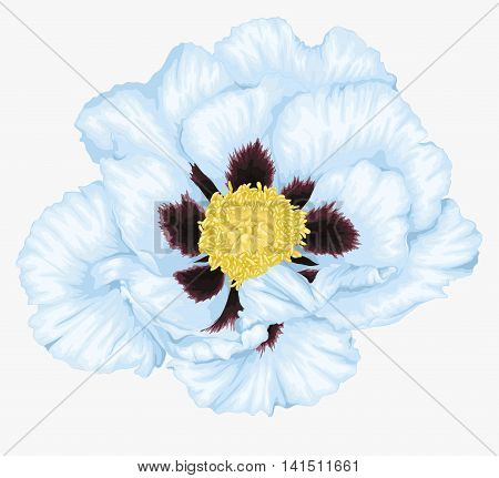 beautiful Plant Paeonia arborea (Tree peony) white flower isolated on white. Hand-drawn with effect of drawing in watercolor