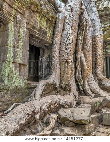 Tree Roots In Ruin