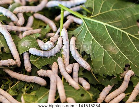 Close up Silkworm eating mulberry green leaf, Silkworm pupa, silk cocoons