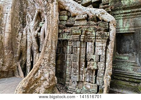 Temple of Ta Prohm in Angkor Wat Cambodia old Tree covering the stones.