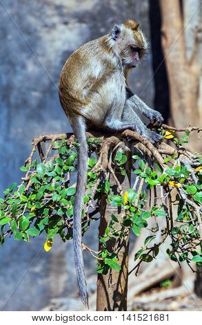 monkey or hussar monkey is a ground-dwelling monkey distributed over semi-arid areas of West Africa and into East Africa. Animal scene. hipster style image of tropical vacation holidays