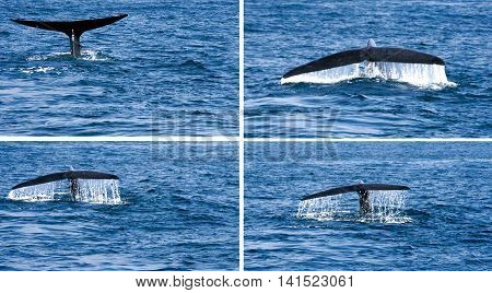 whale tail in the sea water hawaii aquatic mammal tail