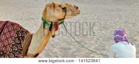 Camel lay with traditional Bedouin saddle in Dubai Marina beach sand United Arab Emirates