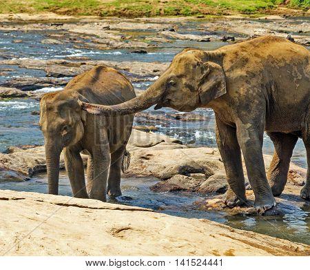 Family Asia Elephants