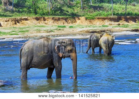 Group Elephants In River Outdoor