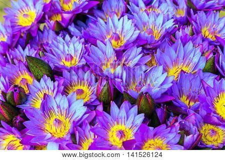 Violet Lotus Flower Background Plant