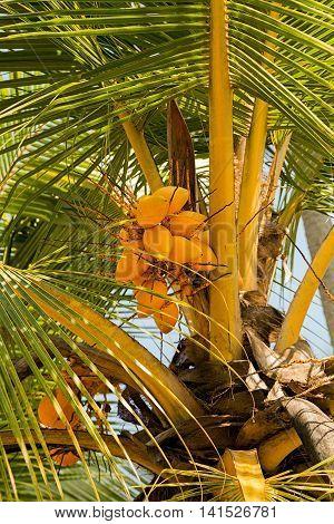 Yellow coco on coconut tree wildlife travel